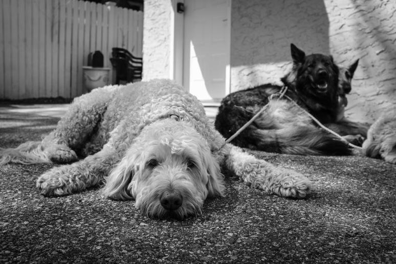 ©Valérie Jardin - Curtis and dogs-30