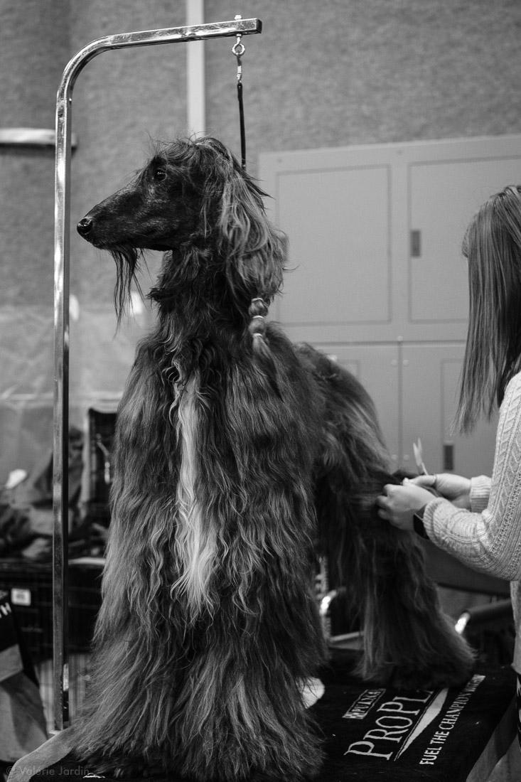 Copyright Valérie Jardin - Dog show-11