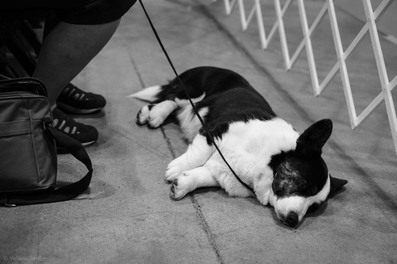 Copyright Valérie Jardin - Dog show-14