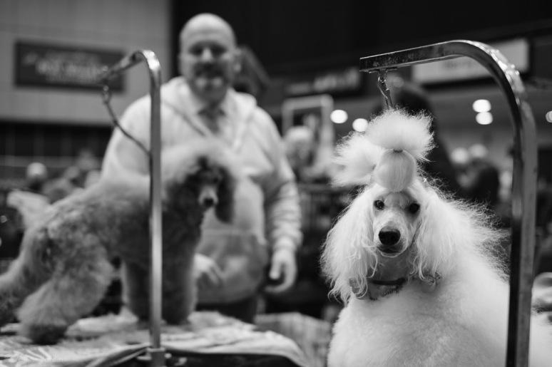 Copyright Valérie Jardin - Dog show-3