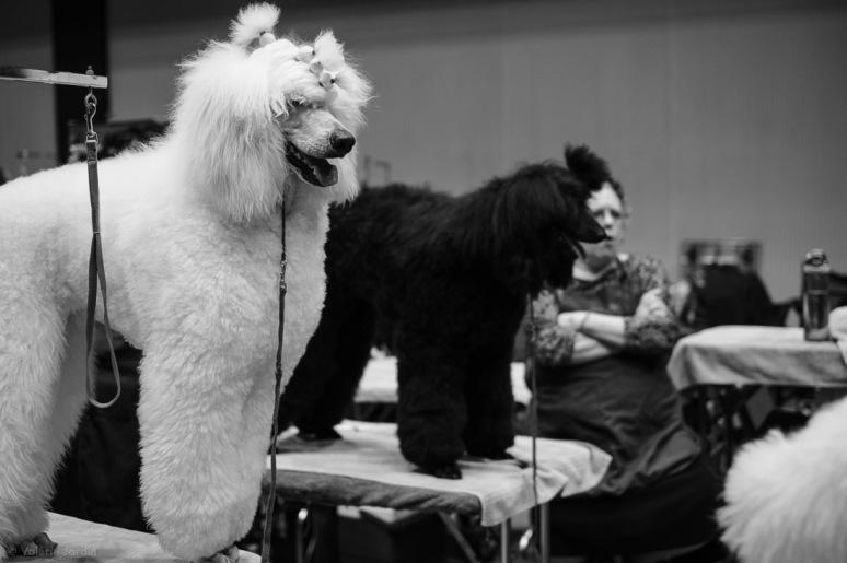 Copyright Valérie Jardin - Dog show-5